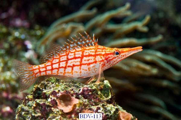 Tranh dán tường Động vật biển Mã BDV – 113