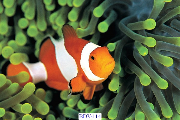 Tranh dán tường Động vật biển Mã BDV – 114